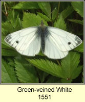 Green-veined White, Pieris napi