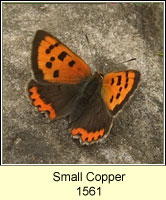 Small Copper, Lycaena phlaeas