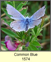 Common Blue, Polyommatus icarus