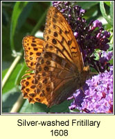 Silver-washed Fritillary, Argynnis paphae