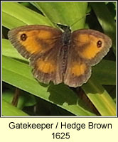 Gatekeeper, Hedge Brown, Pyronia tithonus
