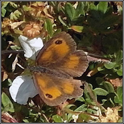 Gatekeeper, Hedge Brown