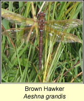 Brown Hawker, Aeshna grandis
