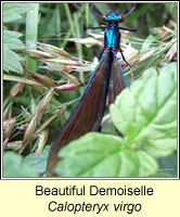 Beautiful Demoiselle, Calopteryx virgo