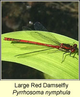 Large Red Damselfly, Pyrrhosoma nymphula