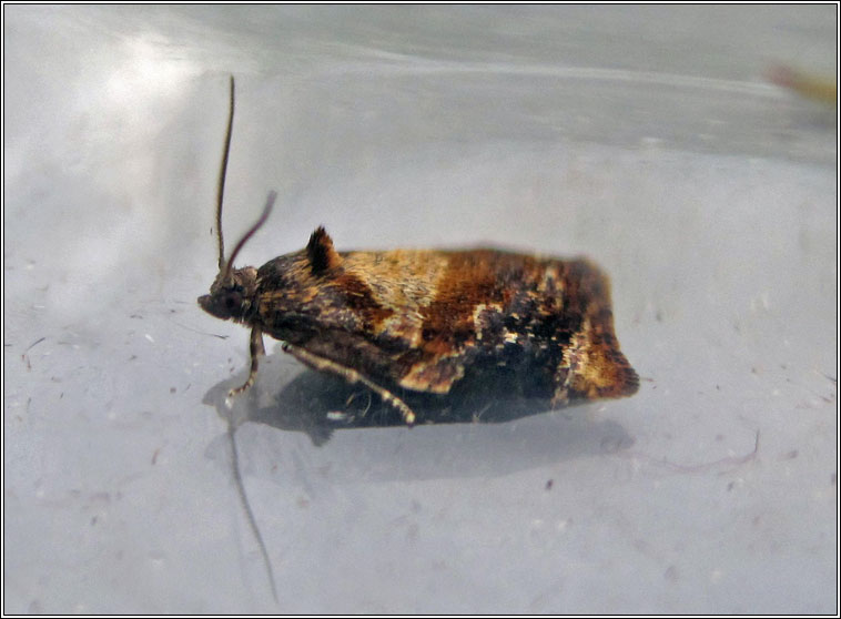 Red-barred Tortrix, Ditula angustiorana