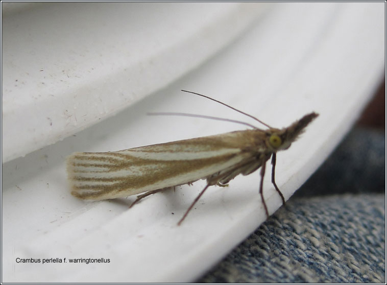 Crambus perlella f warringtonellus