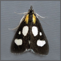 White-spotted Sable Moth, Anania funebris