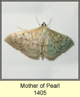 Mother of Pearl, Pleuroptya ruralis
