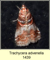 Trachycera advenella