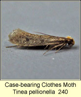 Case-bearing Clothes Moth, Tinea pellionella