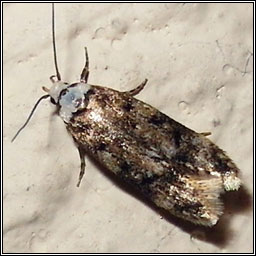 White-shouldered House-moth, Endrosis sarcitrella
