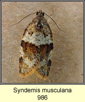 Syndemis musculana