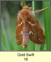 Gold Swift, Hepialus hecta