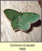 Common Emerald, Hemithea aestivaria