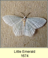 Little Emerald, Jodis lactearia
