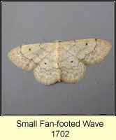 Small Fan-footed Wave, Idaea biselata