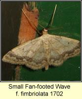 Small Fan-footed Wave, Idaea biselata f fimbriolata