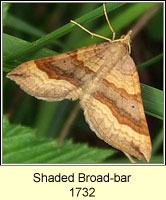 Shaded Broad-bar, Scotopteryx chenopodiata