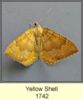 Yellow Shell, Camptogramma bilineata