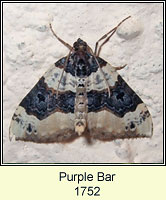 Purple Bar, Cosmorhoe ocellata