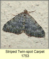 Striped twin-spot Carpet