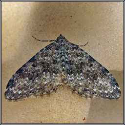 Striped Twin-spot Carpet, Nebula salicata