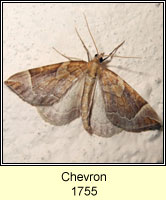 The Chevron, Eulithis testata