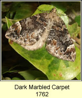 Dark Marbled Carpet, Chloroclysta citrata