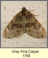 Grey Pine Carpet, Thera obeliscata
