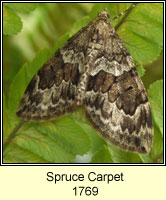 Spruce Carpet, Therea britannica