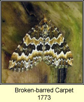 Broken-barred Carpet, Electrophaes corylata