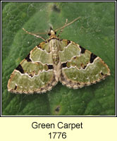 Green Carpet, Colostygia pectinataria