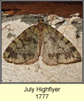 July Highflyer, Hydriomena furcata