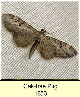 Oak-tree Pug, Eupithecia dodoneata