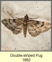 Double-striped Pug, Gymnoscelis rufifasciata