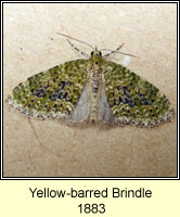 Yellow-barred Brindle, Acasis viretata