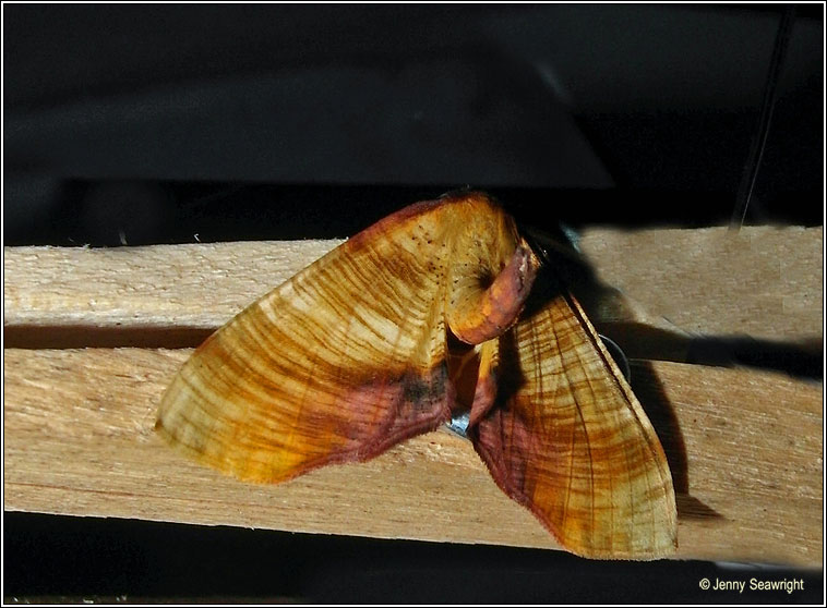 Scorched Wing, Plagodis dolabraria