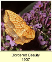 Bordered Beauty, Epione repandaria