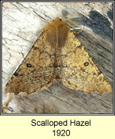 Scalloped Hazel, Odontopera bidentata