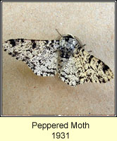 Peppered Moth, Biston betularia