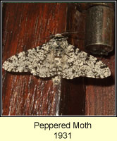 Peppered Moth, Biston betularia f insularia