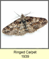 Ringed Carpet, Cleora cinctaria