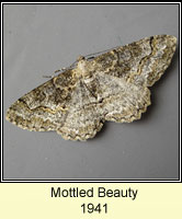 Mottled Beauty, Alcis repandata