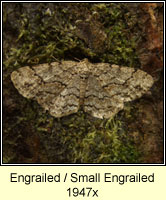 The Engrailed, Ectropis bistortata
