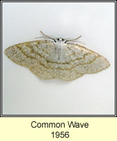 Common Wave, Cabera exanthemata