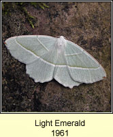 Light Emerald, Campaea margaritata
