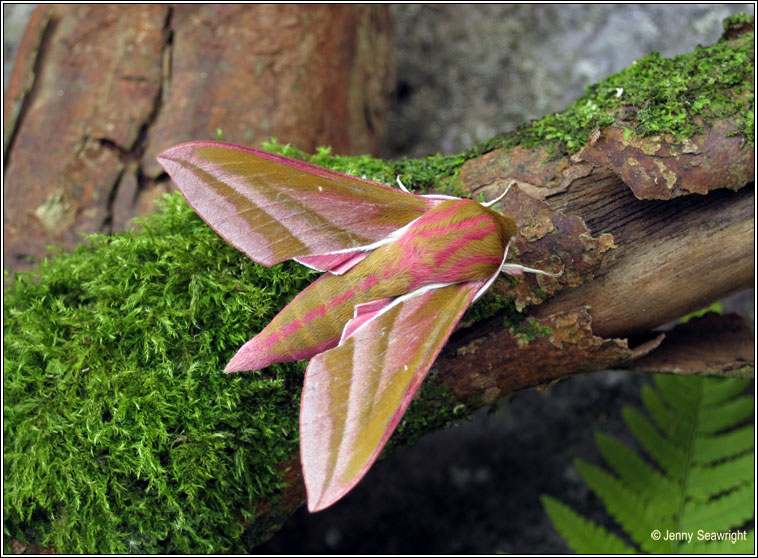 Elephant Hawk-moth, Deilephila elpenor