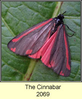 The Cinnabar, Tyria jacobaeae