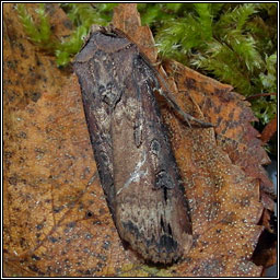Dark Sword-grass, Agrotis ipsilon